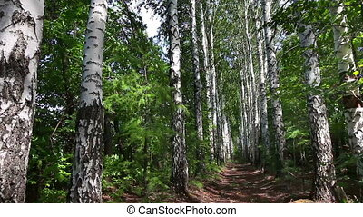 summer birch woods alley in Russia - dolly shot