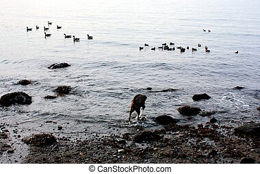 Dog stalking ducks - Catahoula Lepard dog is stalking dukcs...