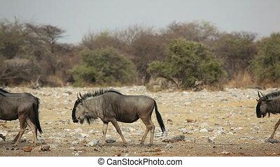 Blue wildebeest walking - Blue wildebeest (Connochaetes...