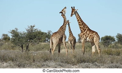 Fighting giraffes - Two giraffe bulls Giraffa camelopardalis...