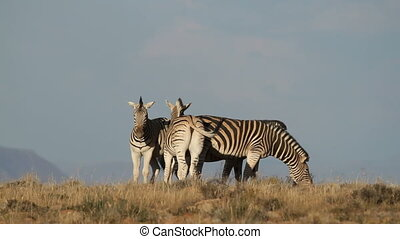 Plains Zebras - Small group of plains (Burchells) Zebras...