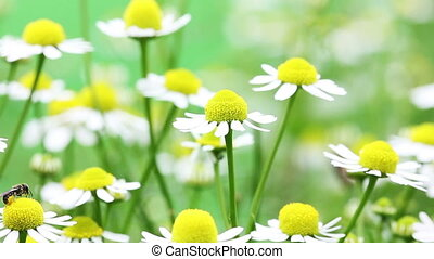 White and yellow daisies blooming