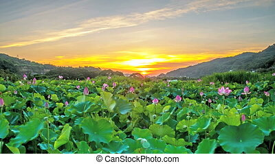 Time lapse of beautiful lotus garden for adv or others...