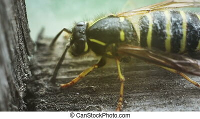 close-up of wasp cleaning