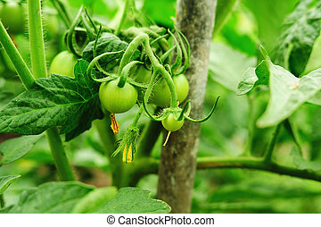 green tomatoes - Green Tomatoes in a garden