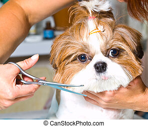 Grooming the Shih Tzu dog