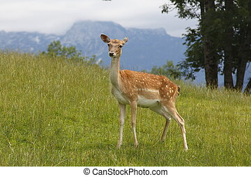 Deer on the grass - Beautiful deer staying on the grass in...