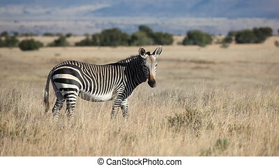 Cape Mountain Zebra (Equus zebra) in open grassland,...