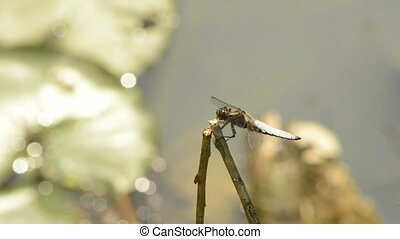 Broad-bodied chaser dragonfly sitting on a branch