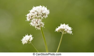 Common valerian blooming