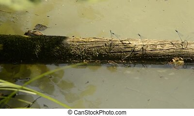 Dragonflies during reproduction on a pond