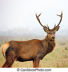 red deer stag - Beautiful image of red deer stag in forest...