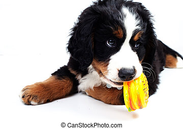 Puppy bernese mountain dog - Puppy dog bernese mountain dog...