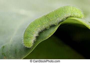 Cabbage White Caterpillar - A Cabbage White caterpillar on...