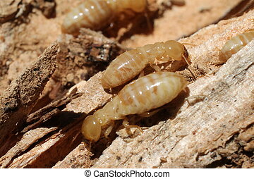 Worker Termites on Rotten Wood - Several worker termites on...