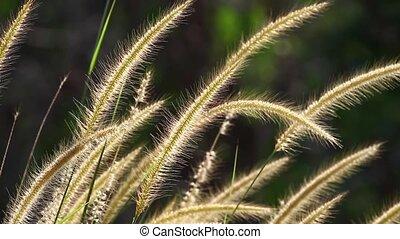 Lalang Grass 2 - Lalang Grass back lit under soft wind