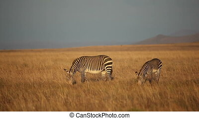 Cape Mountain Zebras (Equus zebra) in late afternoon light,...