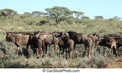 Blue wildebeest herd - Small herd of blue wildebeest...