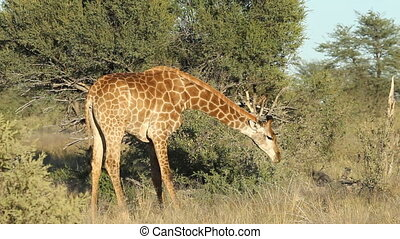 Feeding giraffe - Close-up of a giraffe Giraffa...