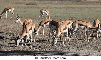 Feeding springbok - Springbok antelopes (Antidorcas...