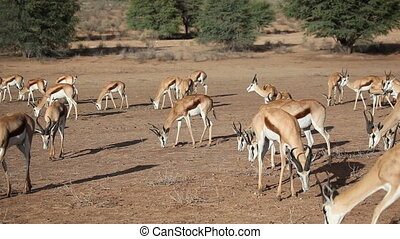 Feeding springbok - Springbok antelopes Antidorcas...