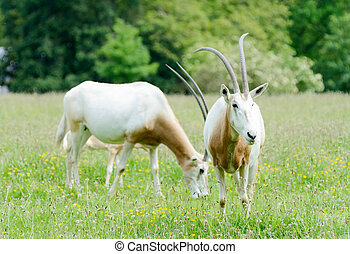 Scimitar horned oryx - Two scimitar horned oryx grazing on...