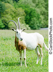 Scimitar horned oryx alone - scimitar horned oryx alone in a...