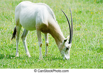 Scimitar horned oryx eating - A lone scimitar horned oryx...
