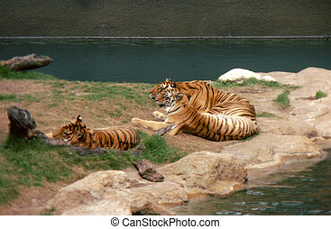 Tiger (3) by water H-60 - The tiger (Panthera tigris) is a...