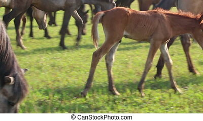 foal grazing on pasture at summer