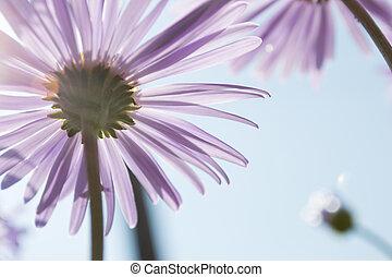 Aster Alpinus flowers under a sky - Aster Alpinus flowers...