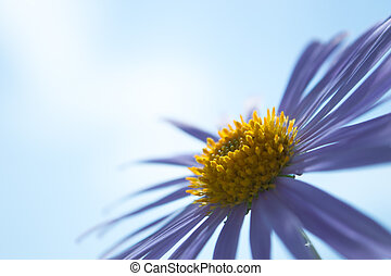Aster Alpinus flowers under a sky - Aster Alpinus flowers...