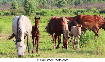 horses and foal grazing on pasture at summer