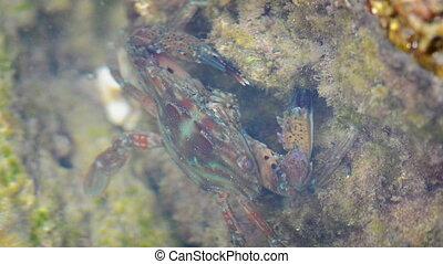 blue crab feeds on vegetation