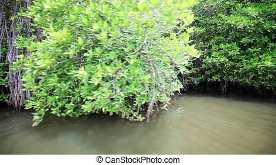 Mangroves along the shore of river - Mangroves along the...