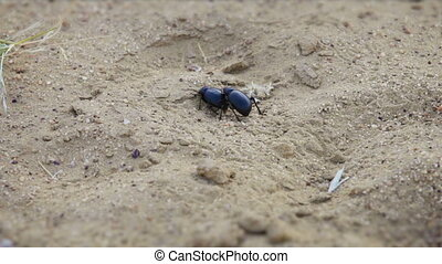 pair of scarab beetles in the sand - A pair of scarab...