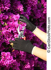 Gardener hands with gloves cutting flowers with secateurs -...