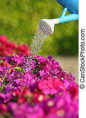 Water can watering a beautiful pink flowers with a green...