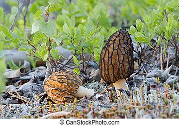 Morel - Mushroom - a morel in a grass