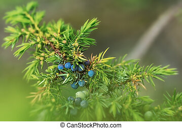 Juniper with blue berries closeup on a summer day