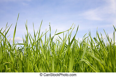 Green grass on a background of the sky
