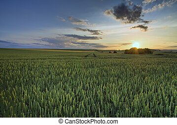 Green field in sunset - Large panorama of the green field in...