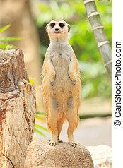 portrait of meercat