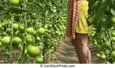 Tomato Production in Greenhouse - Female gardener growing...