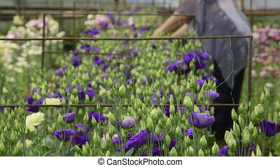 working in flower greenhouse - Female gardener working in a...