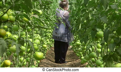 Working In Tomatoes Greenhouse - Senior woman gardener...