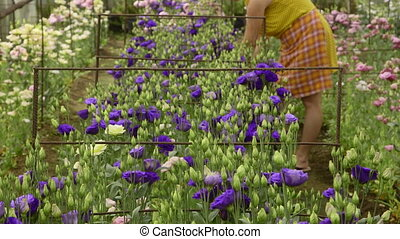 working in a flower greenhouse - Female gardener working in...