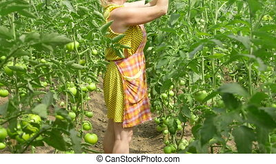 farmer working in tomato greenhouse - Female farmer working...