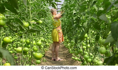 Grower of greenhouse tomatoes - Female gardener growing...