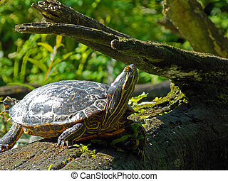 A painted turtle sitting on log - A painted turtle soaking...